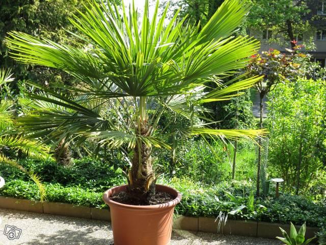 palme-trachycarpus-fortunei-tessinerpalme-9748890857